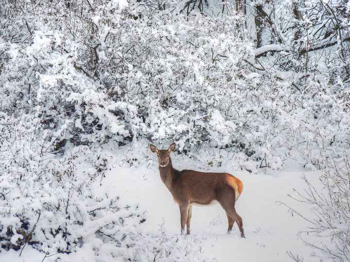 Cerva nella neve come in una favola. Meraviglia nel Parco Naturale Sirente Velino (1)