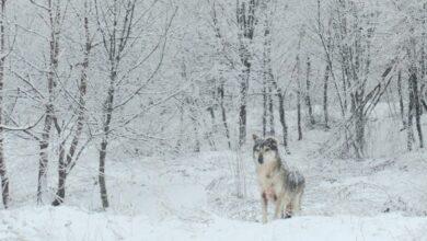 Lupo affascinato guarda la bellezza tra i boschi di Pretoro in Abruzzo
