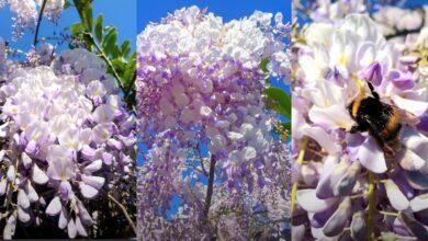 La fioritura del glicine nel Giardino in Torrevecchia Teatina un dolce banchetto per le api