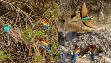 """I Gruccioni, gli uccelli """"arcobaleno"""" che colorano Ripe di Sant'Omero, Teramo"""