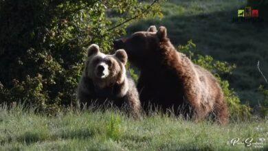 orsi in amore parco nazionale abruzzo lazio e molise