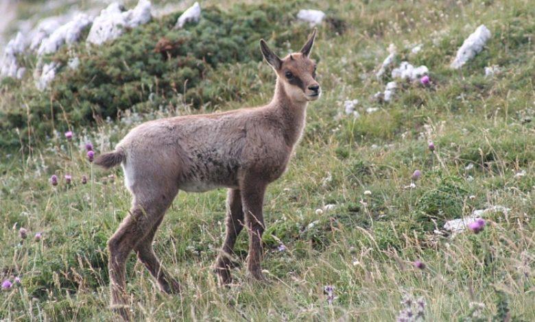 Camosciara. Hai già visto i Camosci sul sentiero nella Val Di Rose fino al Rifugio di Forca Resuni? Tutti i dettagli