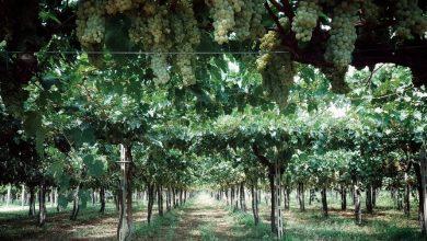Presto sarà… vino! Gustose prospettive in vigna a Mosciano Sant'Angelo