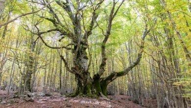 National Geographic omaggia il Faggio del Pontone, l'albero di 750 anni che si trova nel Parco Nazionale d'Abruzzo
